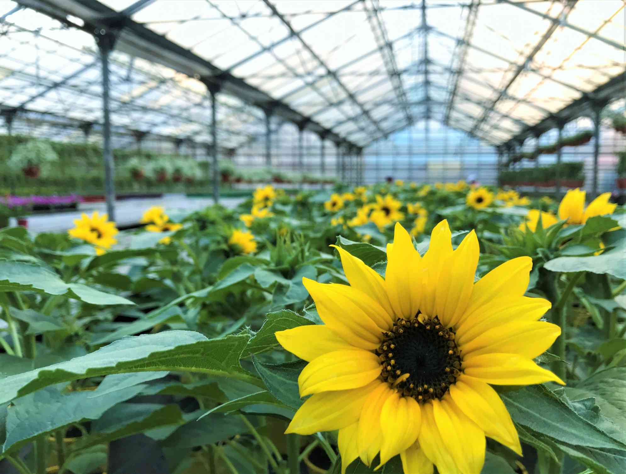Sunflowers grown in a greenhouse