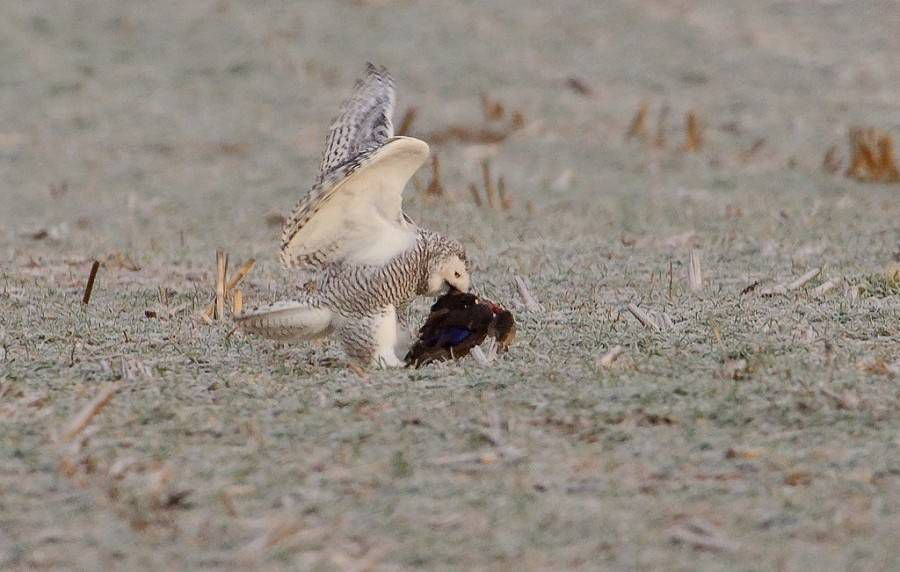 snowy owl with duck
