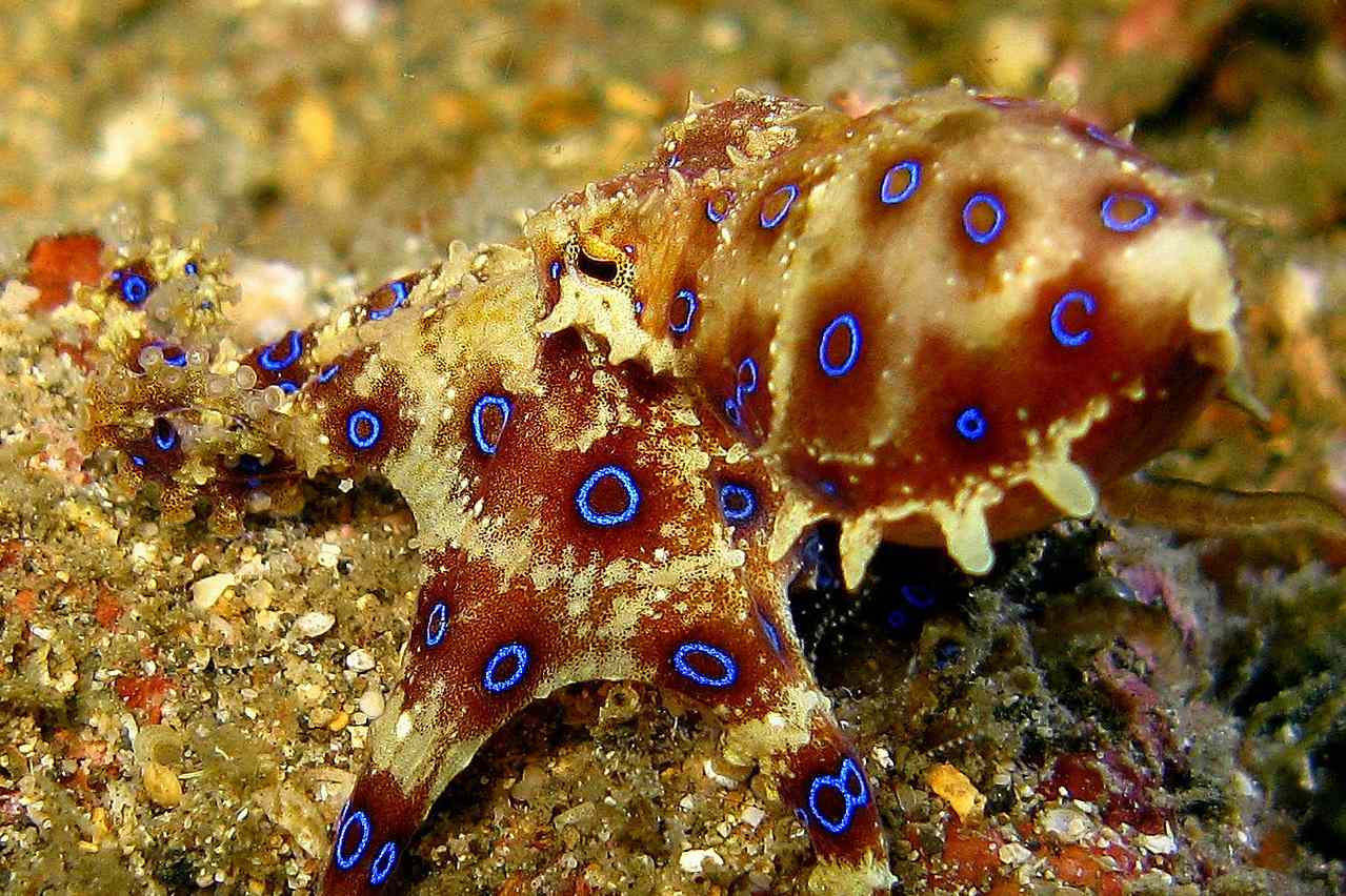 blue ringed octopus ready to strike