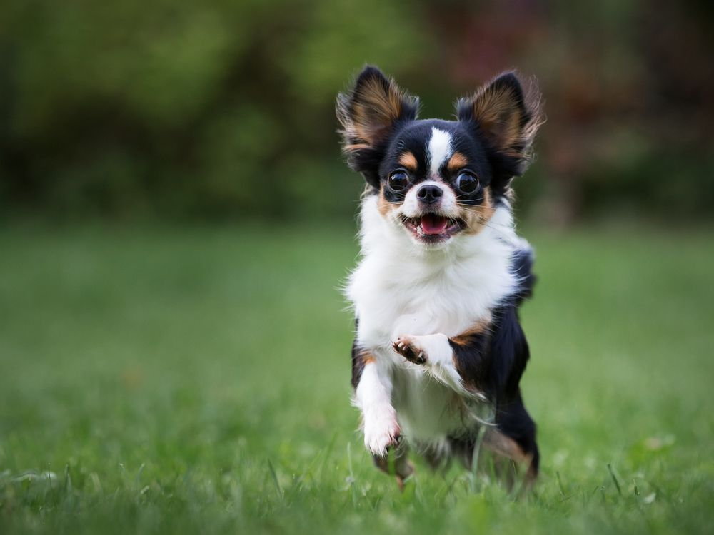 white, black, and brown Chihuahua running through a grassy field
