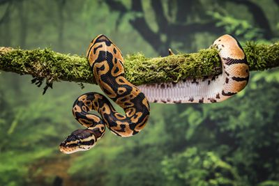 Royal python on branch