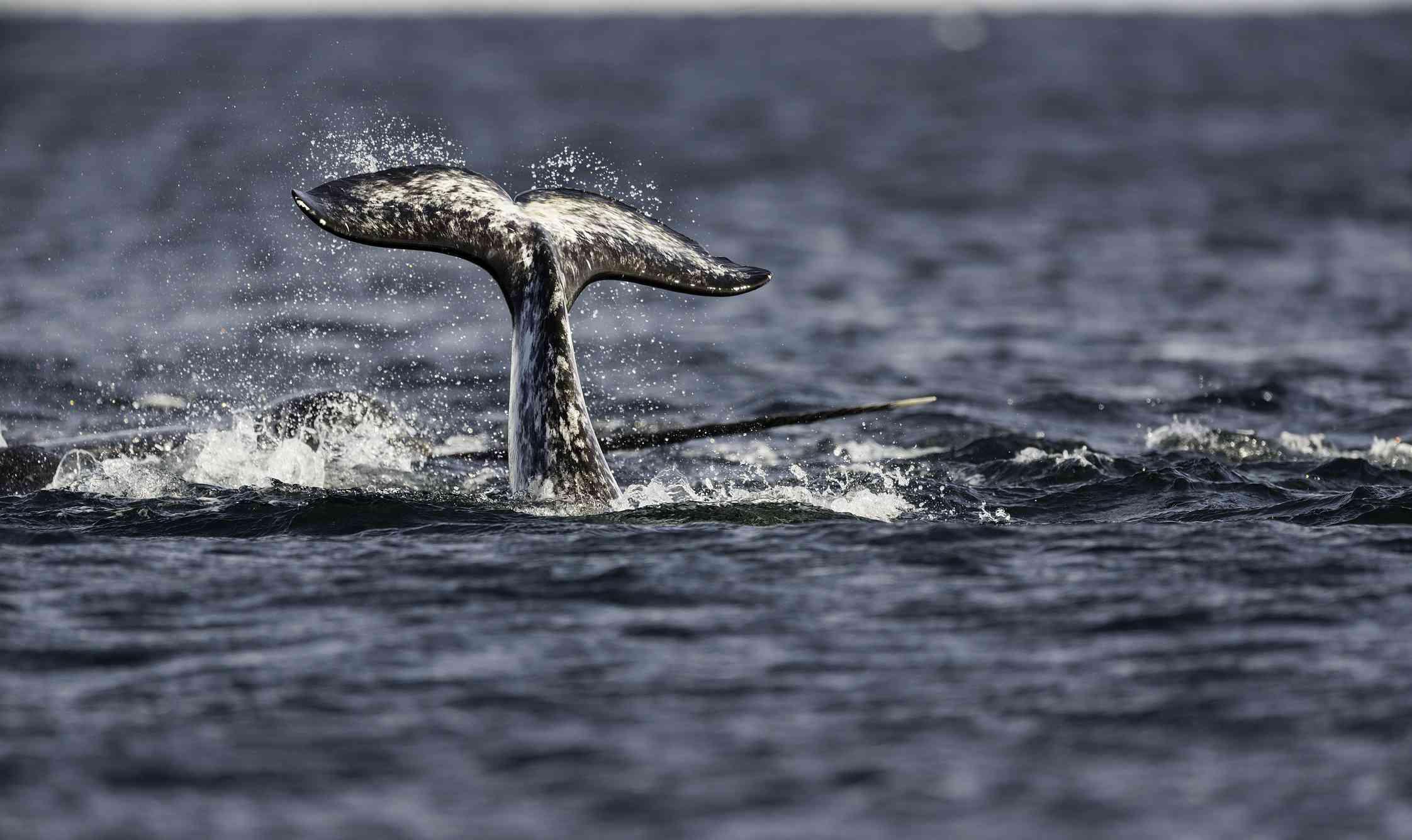Narwhal tail fluke in Baffin Island, Canada