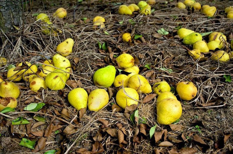 Pears that have fallen onto the leafy ground