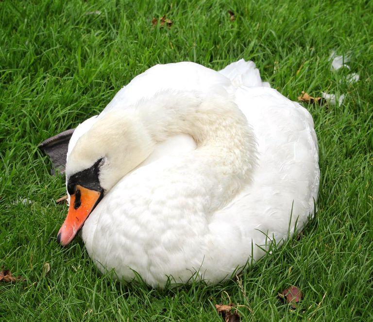 Swan slumbering on grass