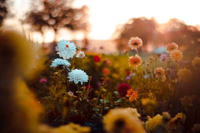 Field of flowers at sunset, Germany