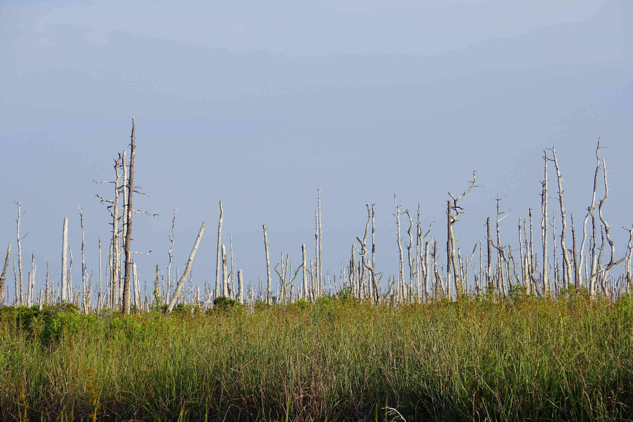 Dying trees caused by saltwater intrusion on surrounding wetlands