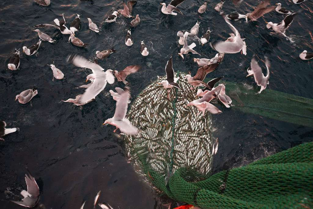 Seabirds flocking to a net full of fish as it's being pulled out of the water.