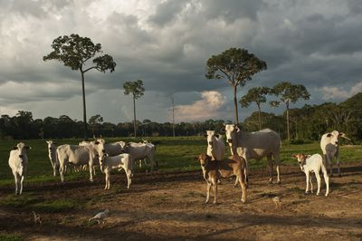 cattle graze in deforested Amazon land