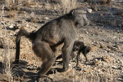 mother baboon carries dead infant