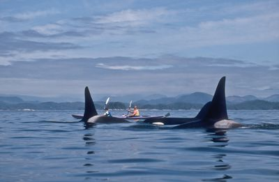 Wild orcas with sea kayakers