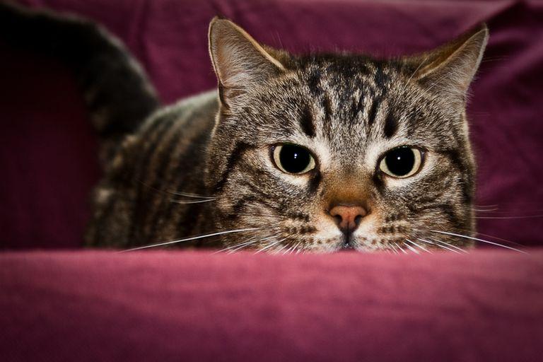¿Por qué mi gato muerde cuando lo acaricio?