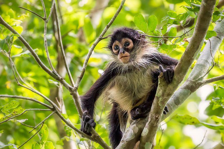 Los monos araña usan la computación colectiva cuando buscan comida