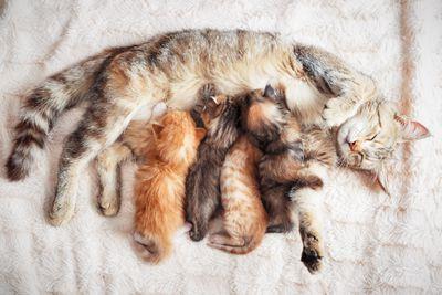 Mother cat nursing four kittens