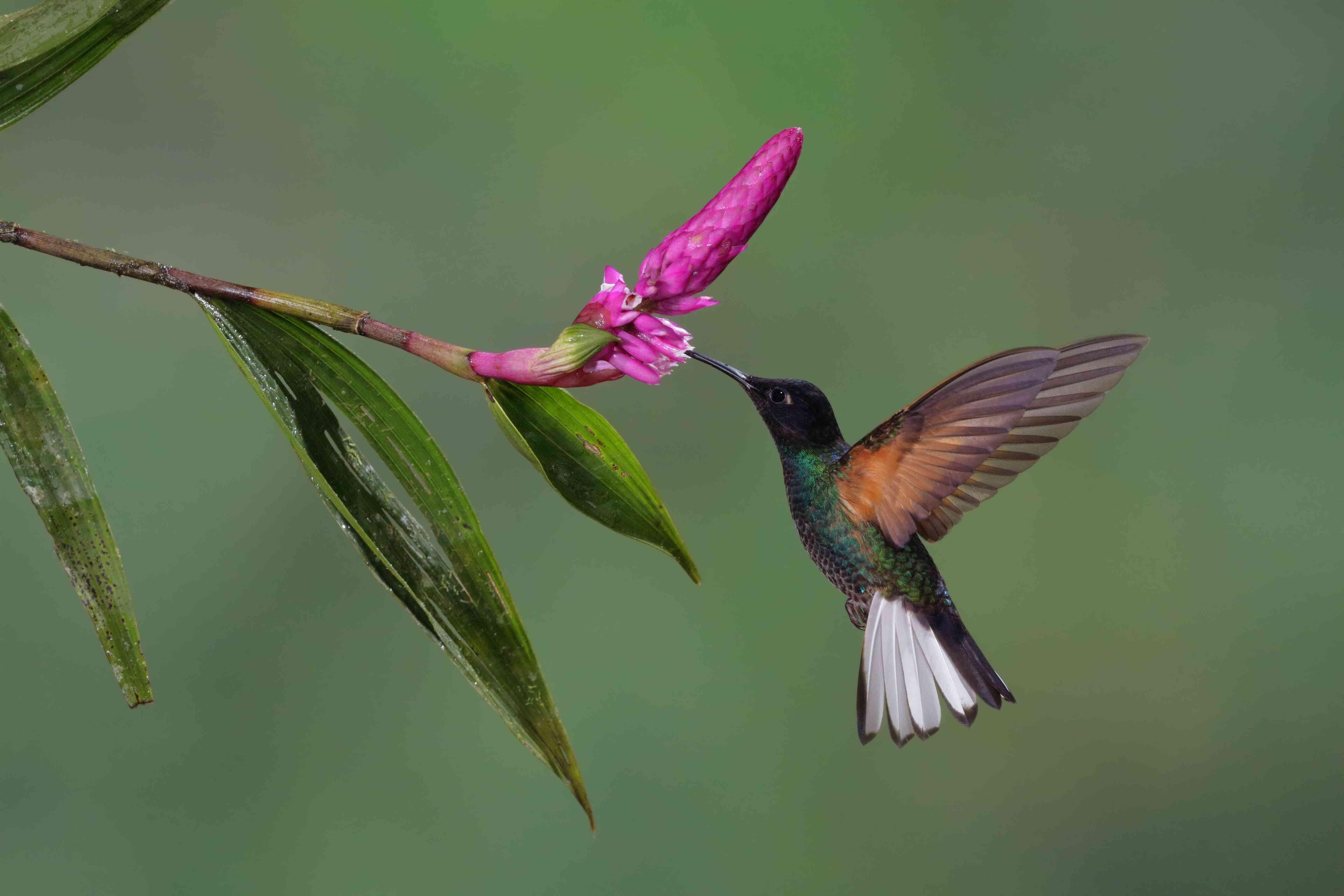 Velvet-purple coronet hummingbird feeding on pink flower