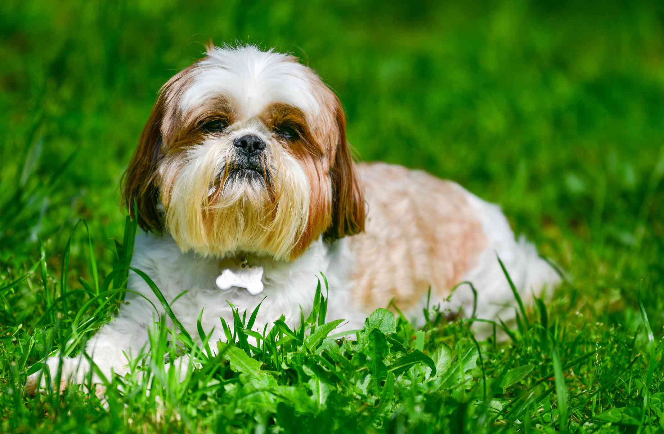 A tan and white shih tzu laying in a grassy field with its paws outstretched