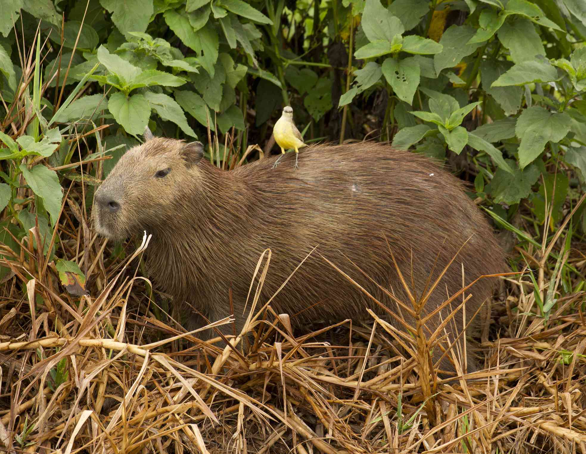yellow cattle tyrant on the back of a capybara in the bushes