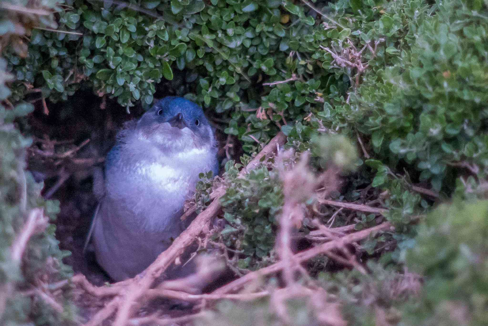 Fairy penguin chick in a burrow of sticks and foliage