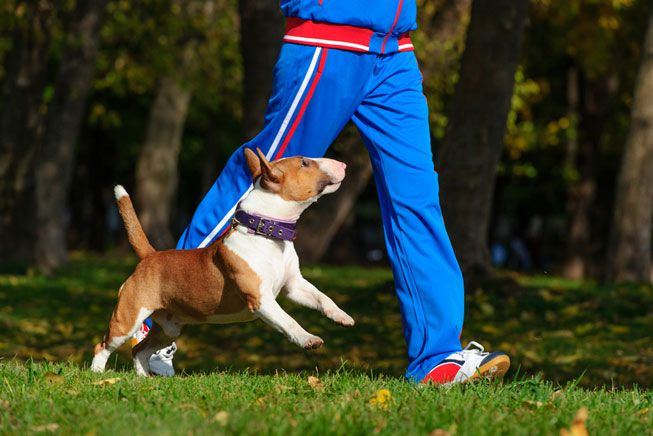 A small dog runs alongside its human companion