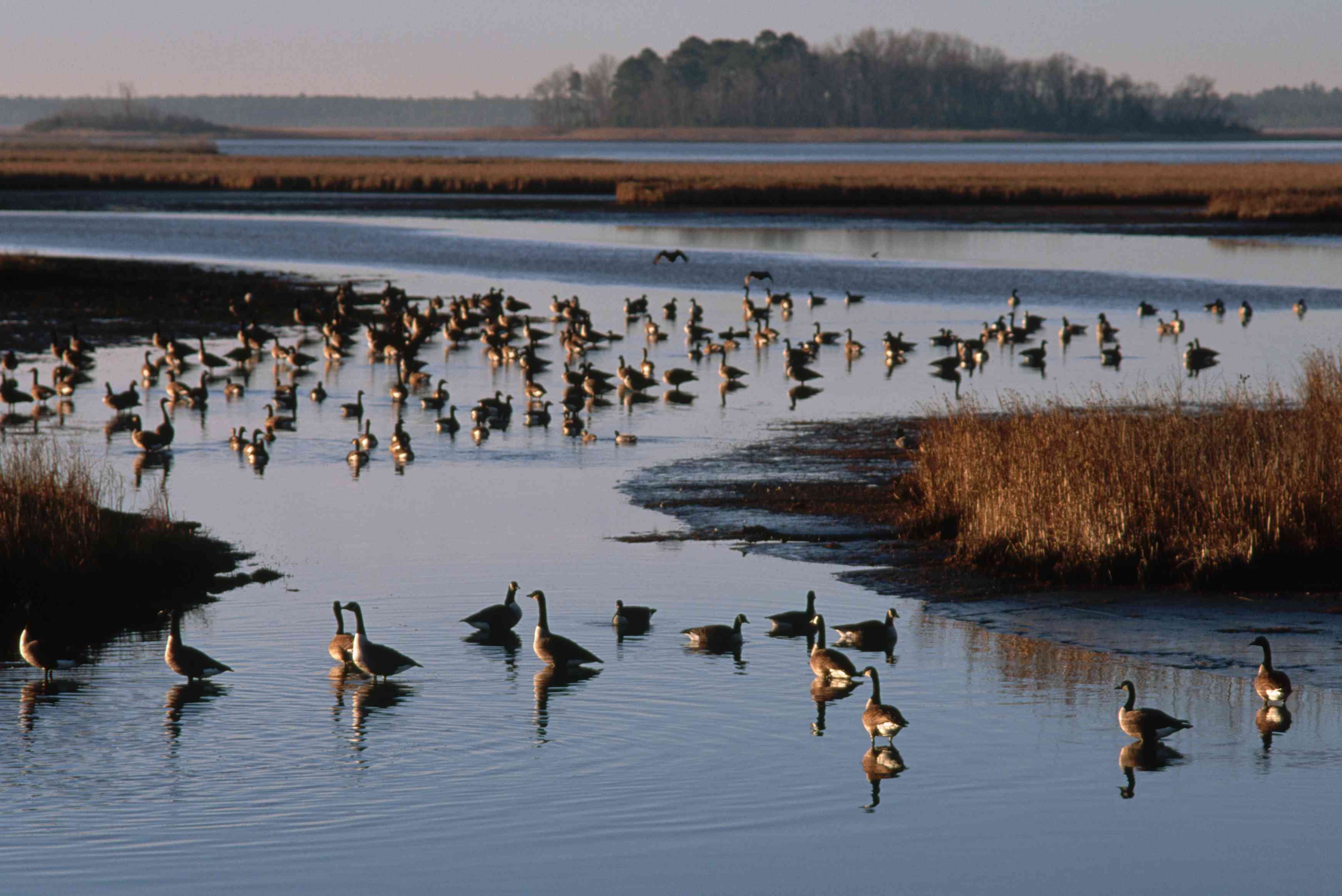 Canada geese in a salt marsh at Blackwater National Wildlife Refuge, Maryland