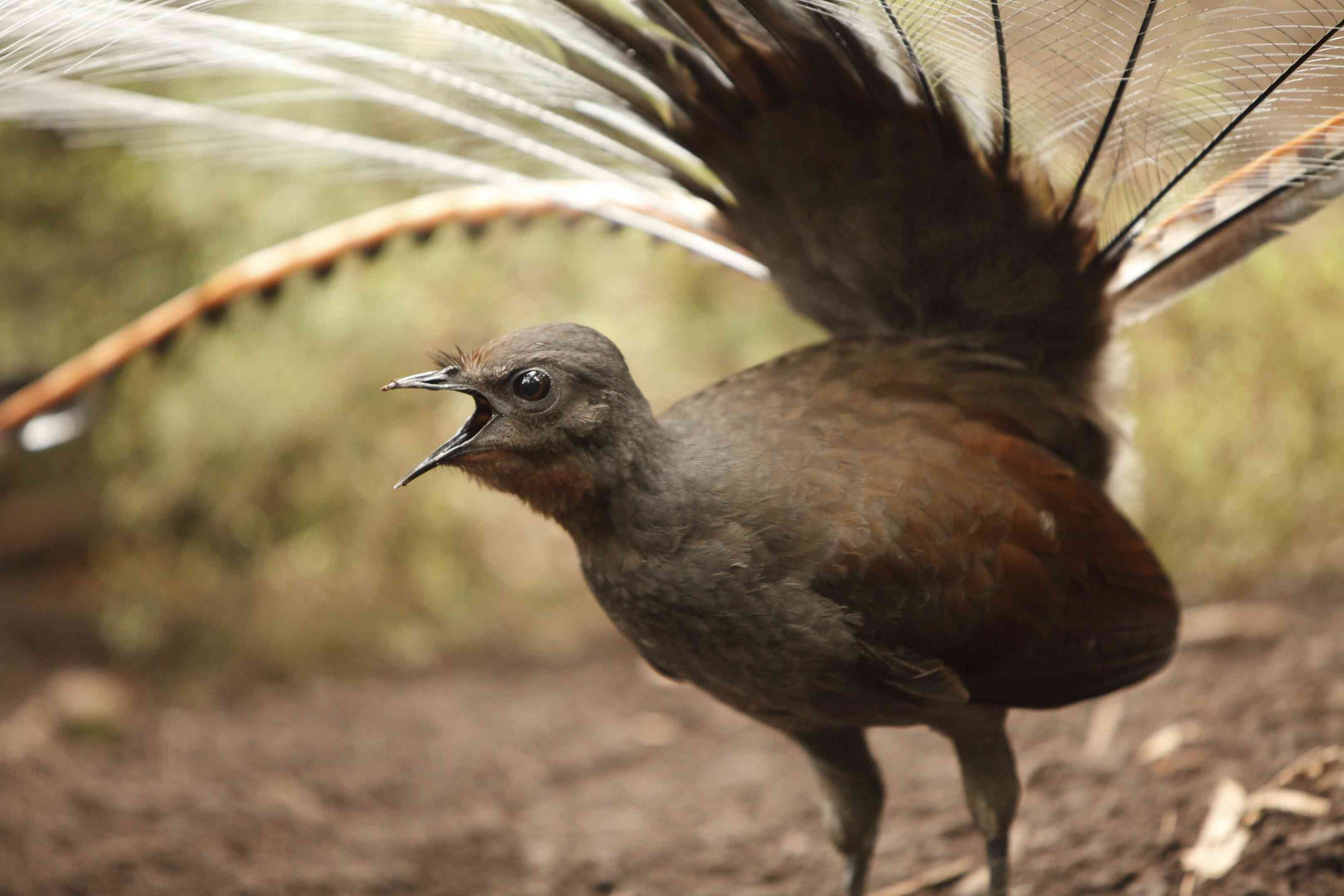 A large brown bird with a long tail and an open beak