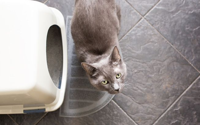 Cat looking up, standing outside its litter box