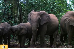 forest elephants mud hole