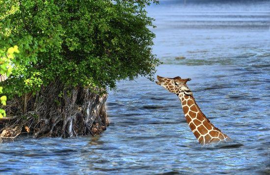 giraffes can swim graphic