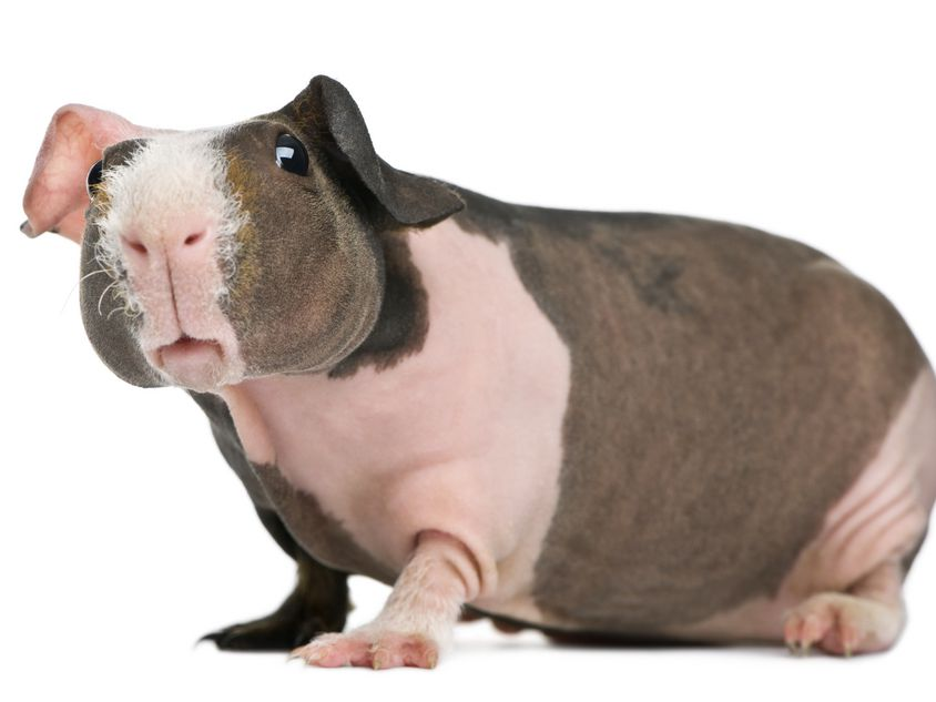 Hairless Guinea Pigs Are A New Pet Craze