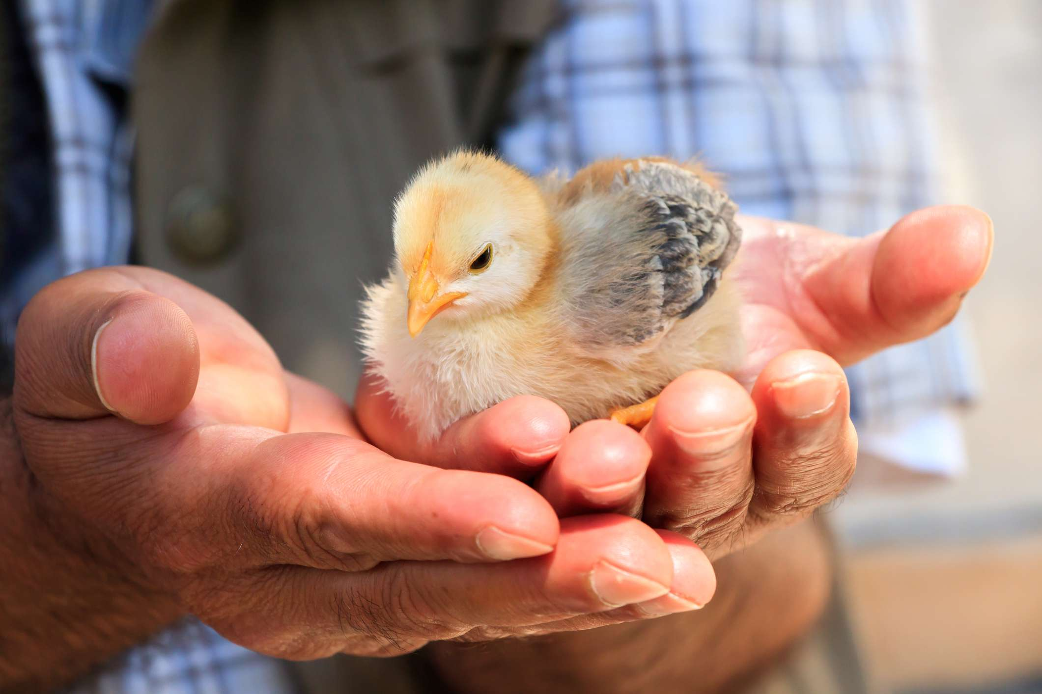 A little chick being held in hands.