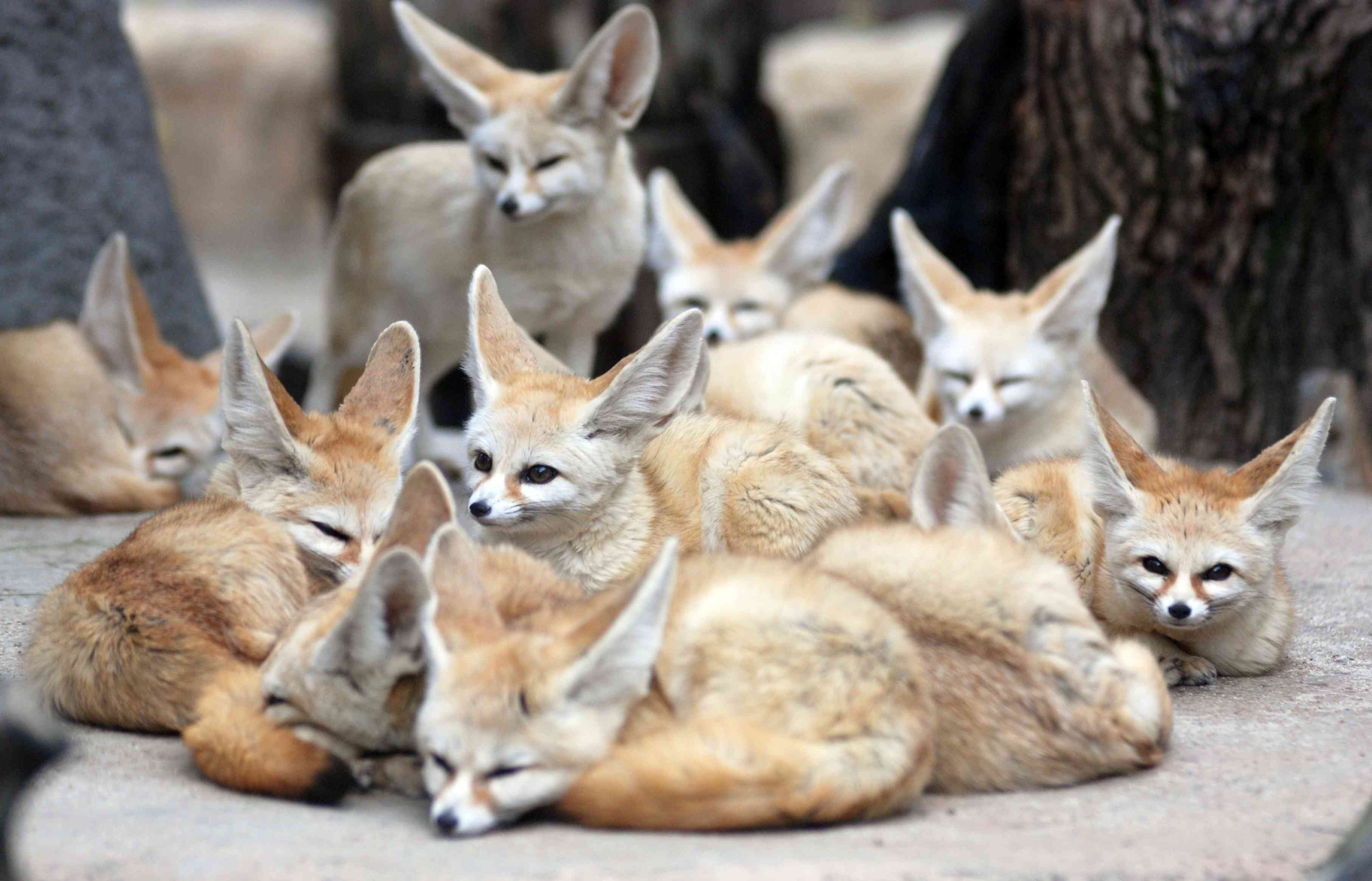 A group of fennec foxes huddled together