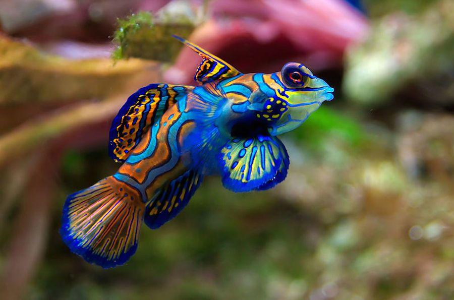 brightly colored orange, blue, and purple Mandarin Fish in ocean
