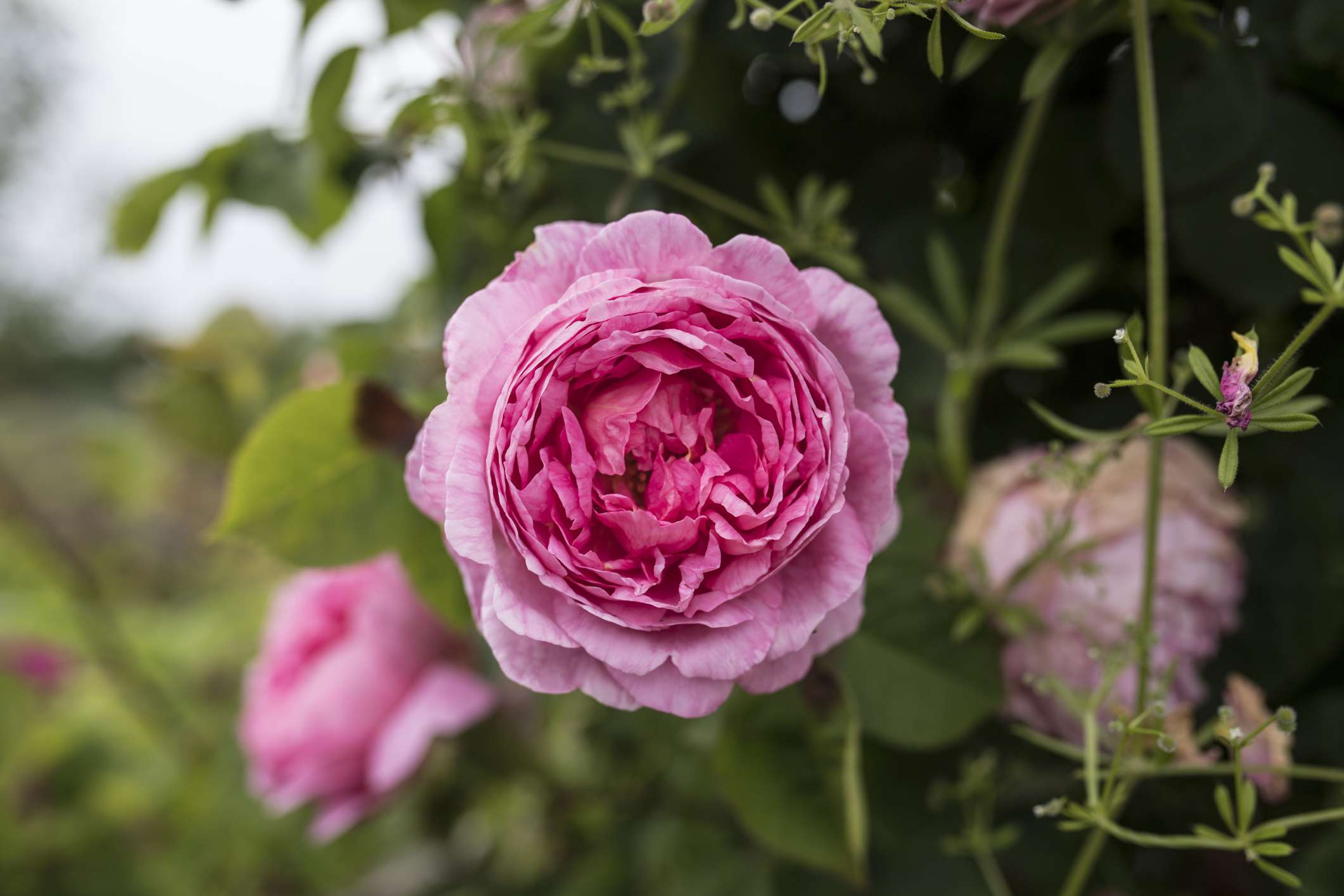Pink peony in a flower bed