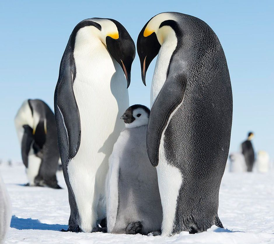 The researchers say that emperor penguin populations may decrease by as much as 70% by 2100 due to sea-ice loss.