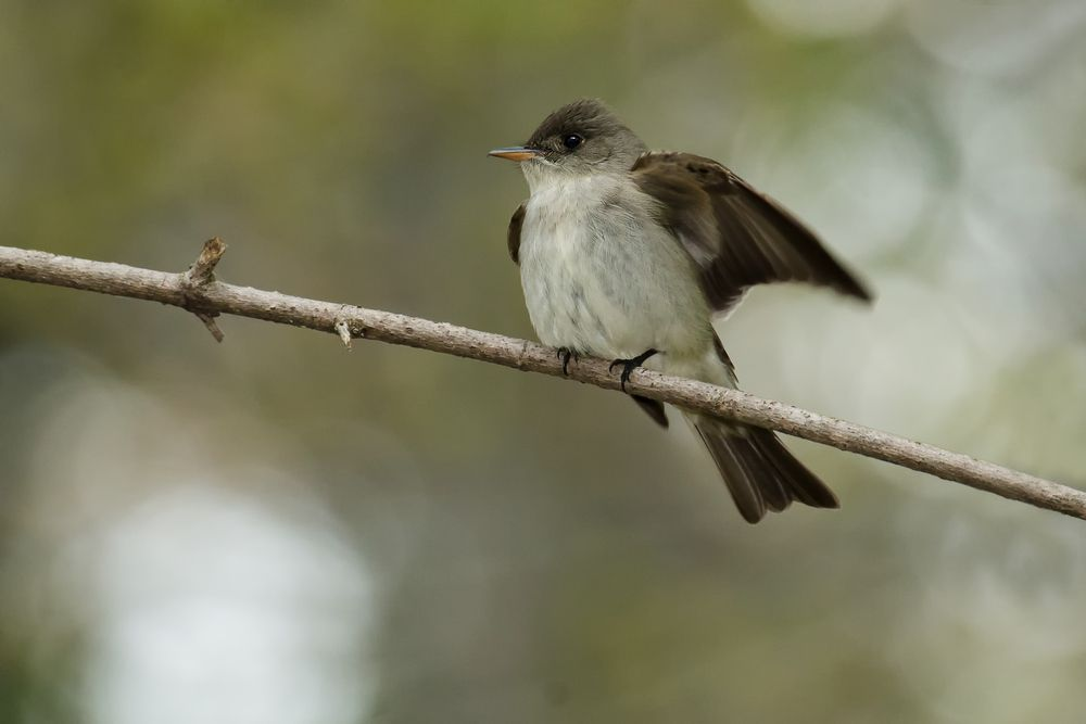 Eastern wood peewee perched on a branch stretching its wings.