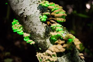 Cluster of Panellus stipticus on a tree, glowing green
