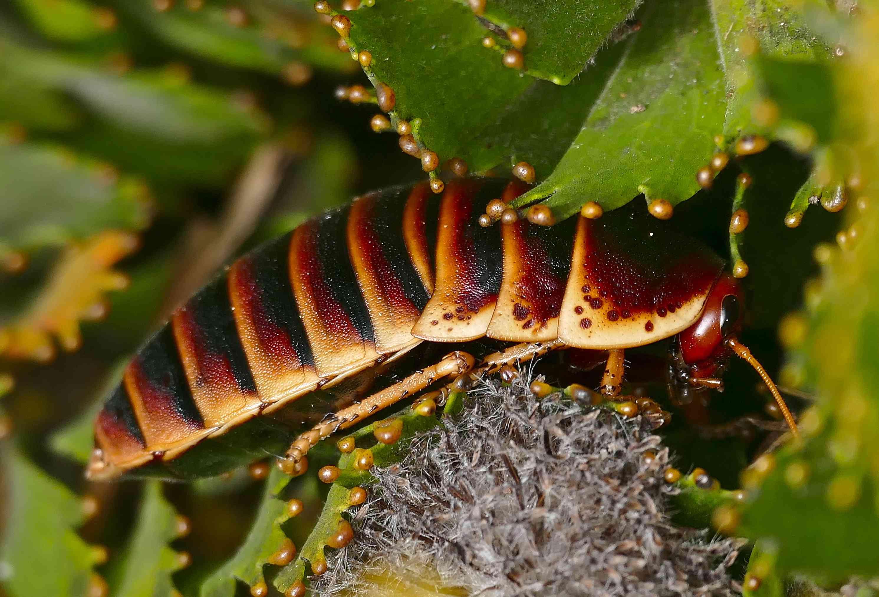 Table Mountain Cockroach (Aptera fusca)