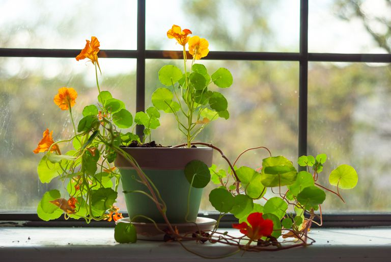 A potted nasturtium plant, with hanging vines and bright green leaves and orange flowers, sits on window sill.