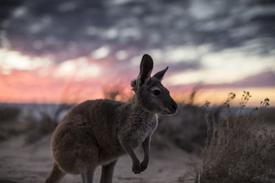 kangaroo near beach at sunset