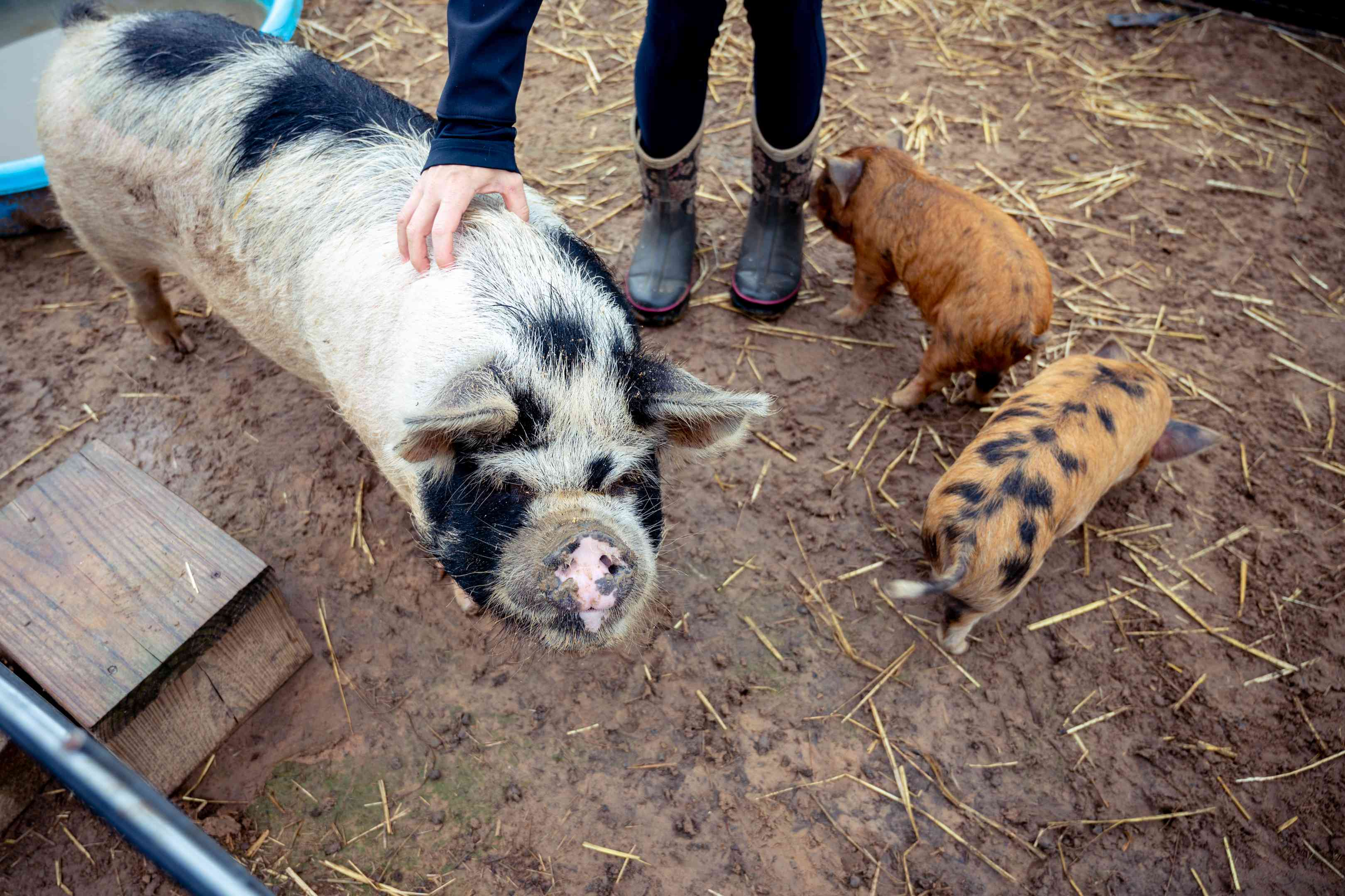person pets mama pig while baby pigs nose around in muddy straw pit