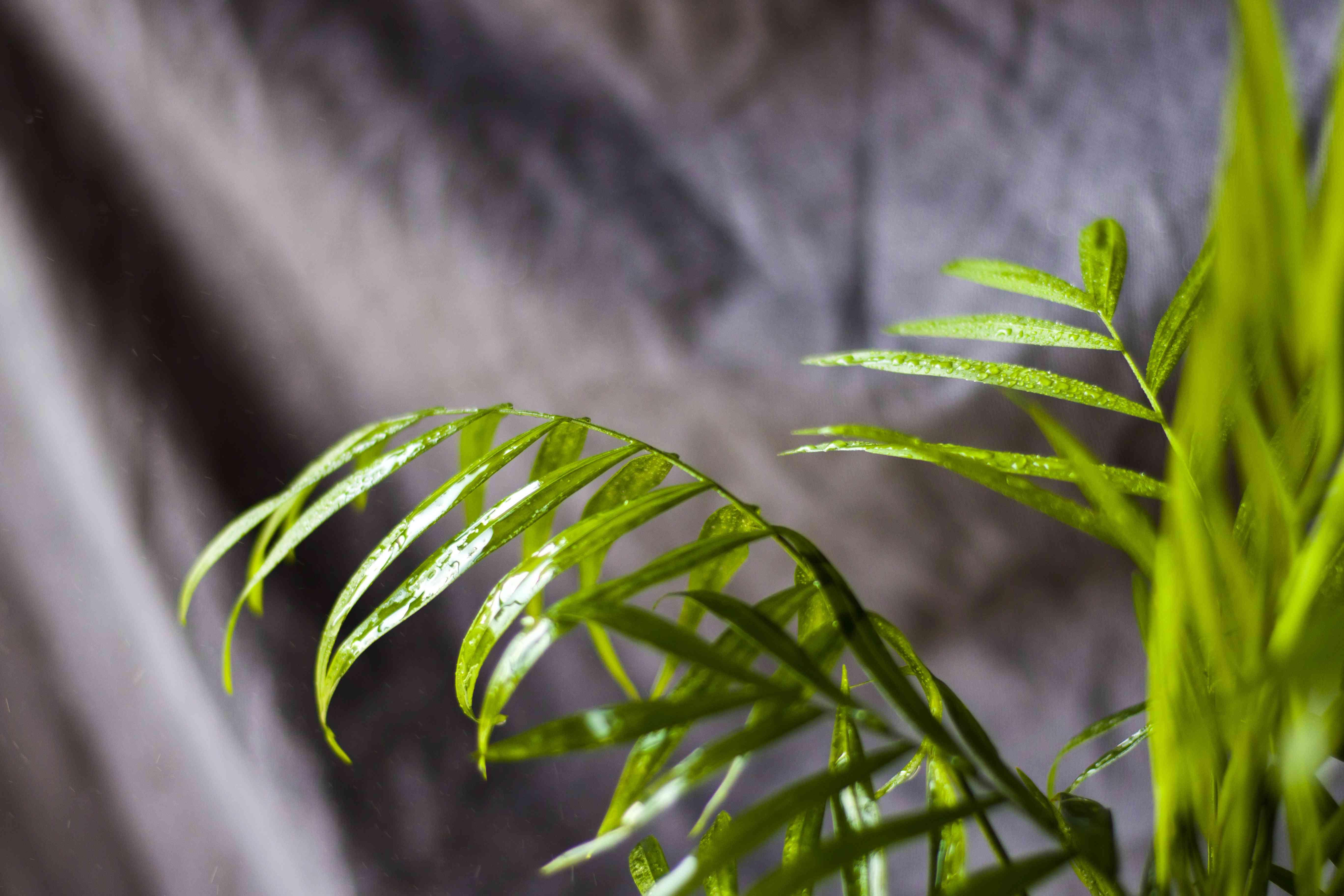 Indoor palm tree, Chrysalidocarpus Lutescens Areca plants, home air plants in room