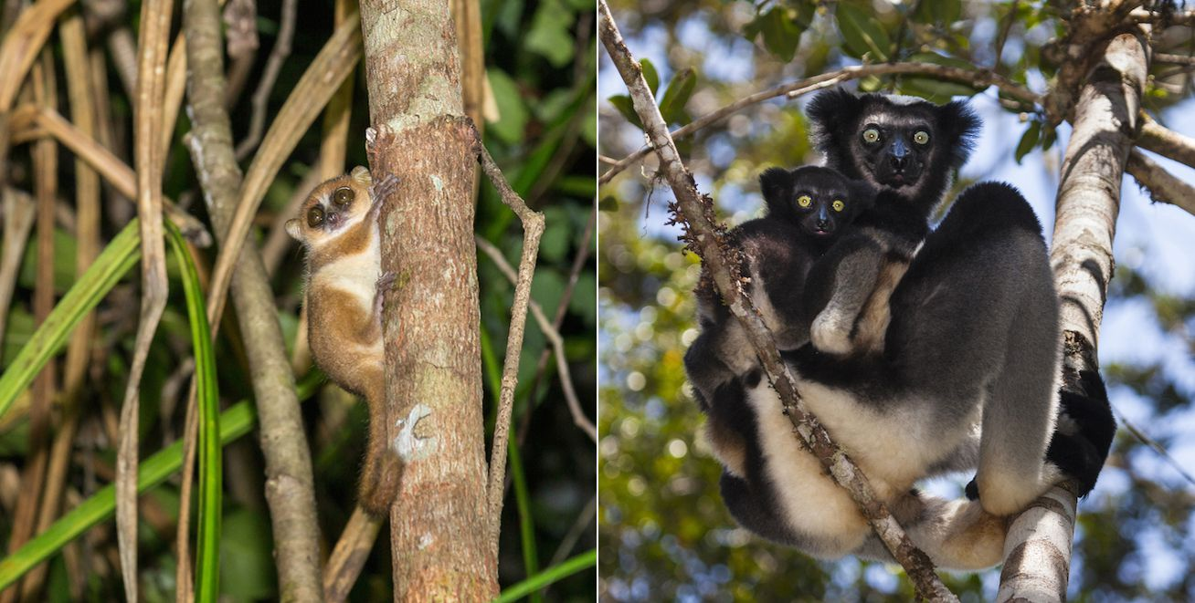 pygmy mouse lemur and indri