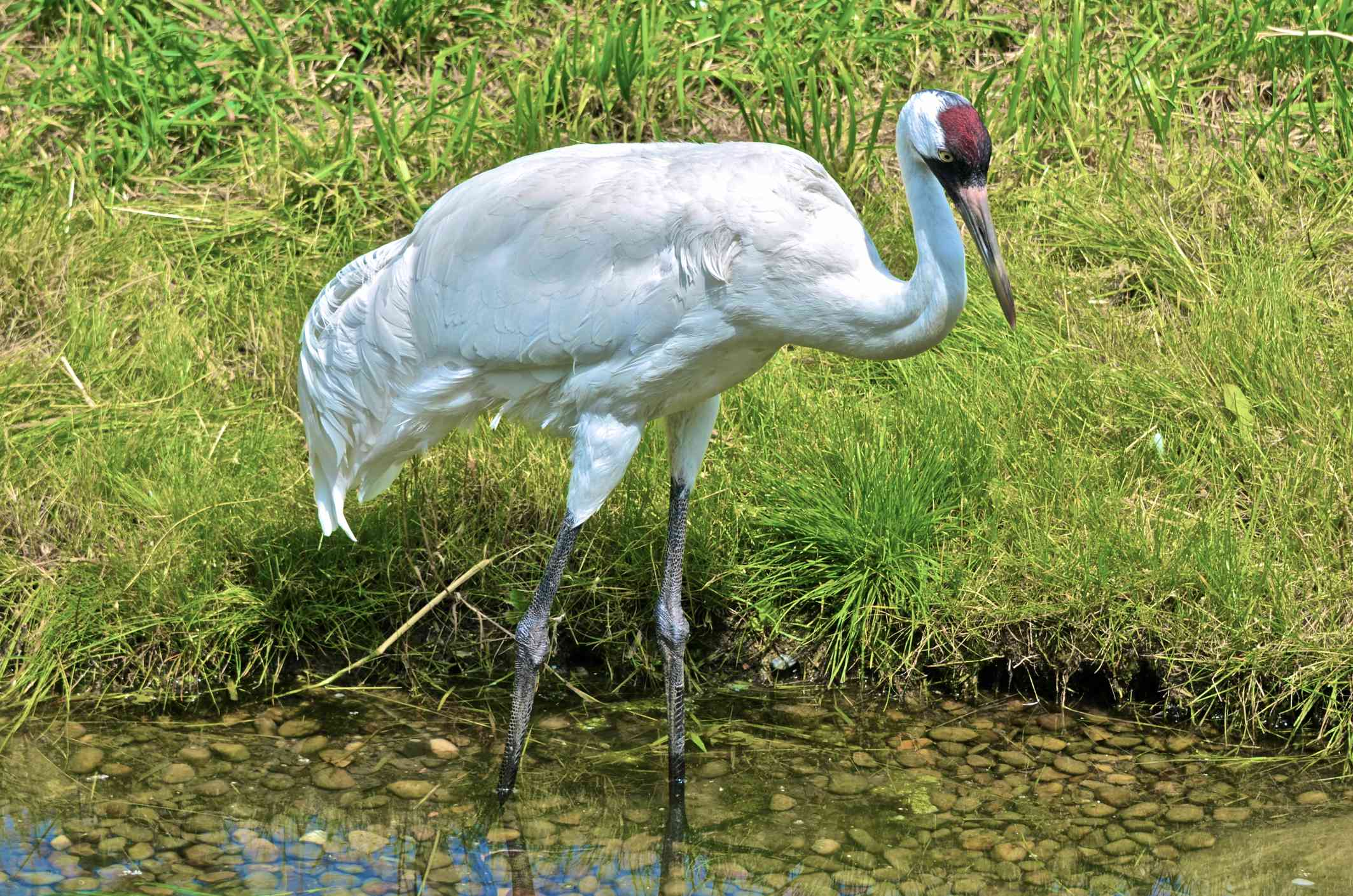 A whooping crane with its standing in shallow water near grass