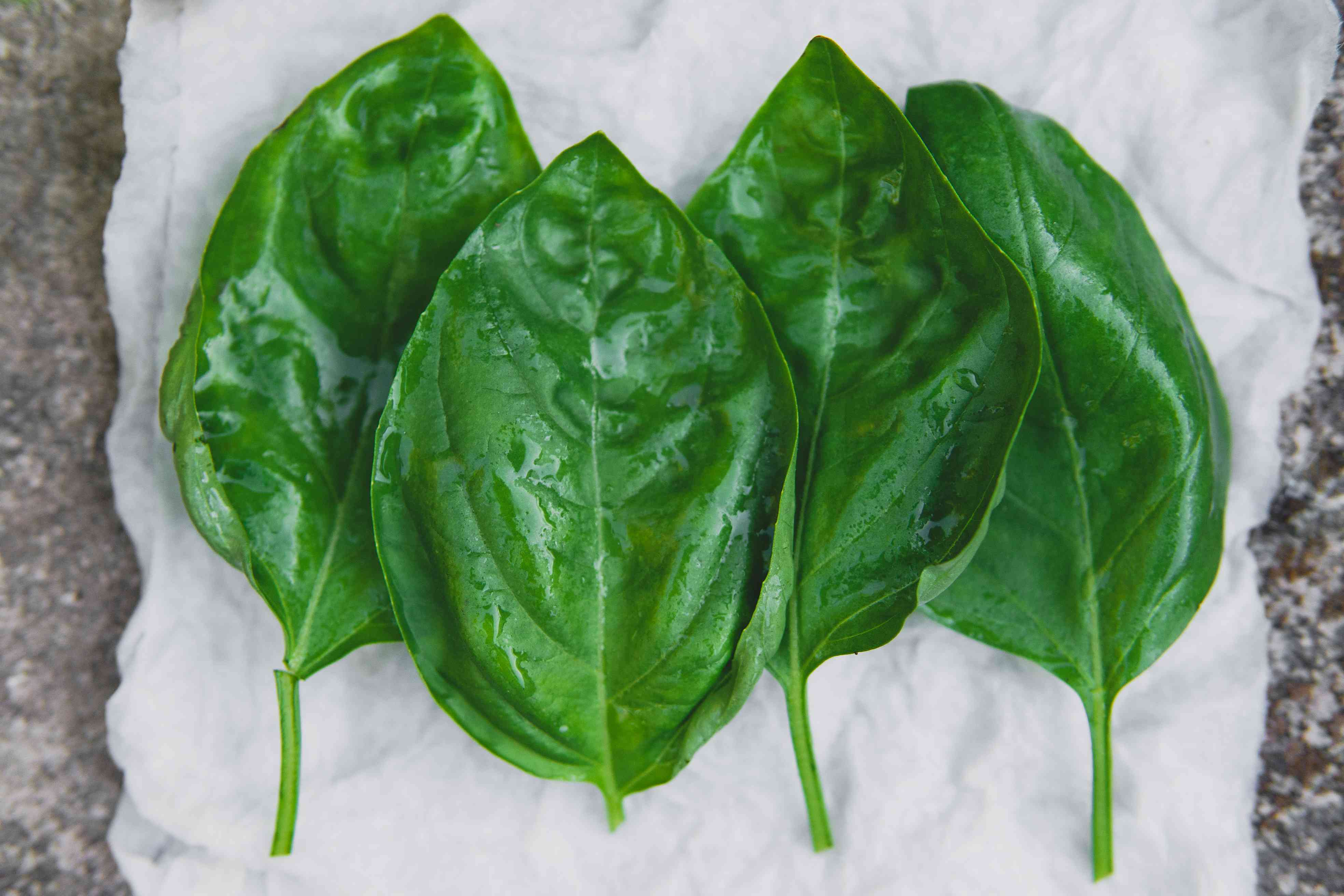 picked basil leaves are freshly washed on paper towel