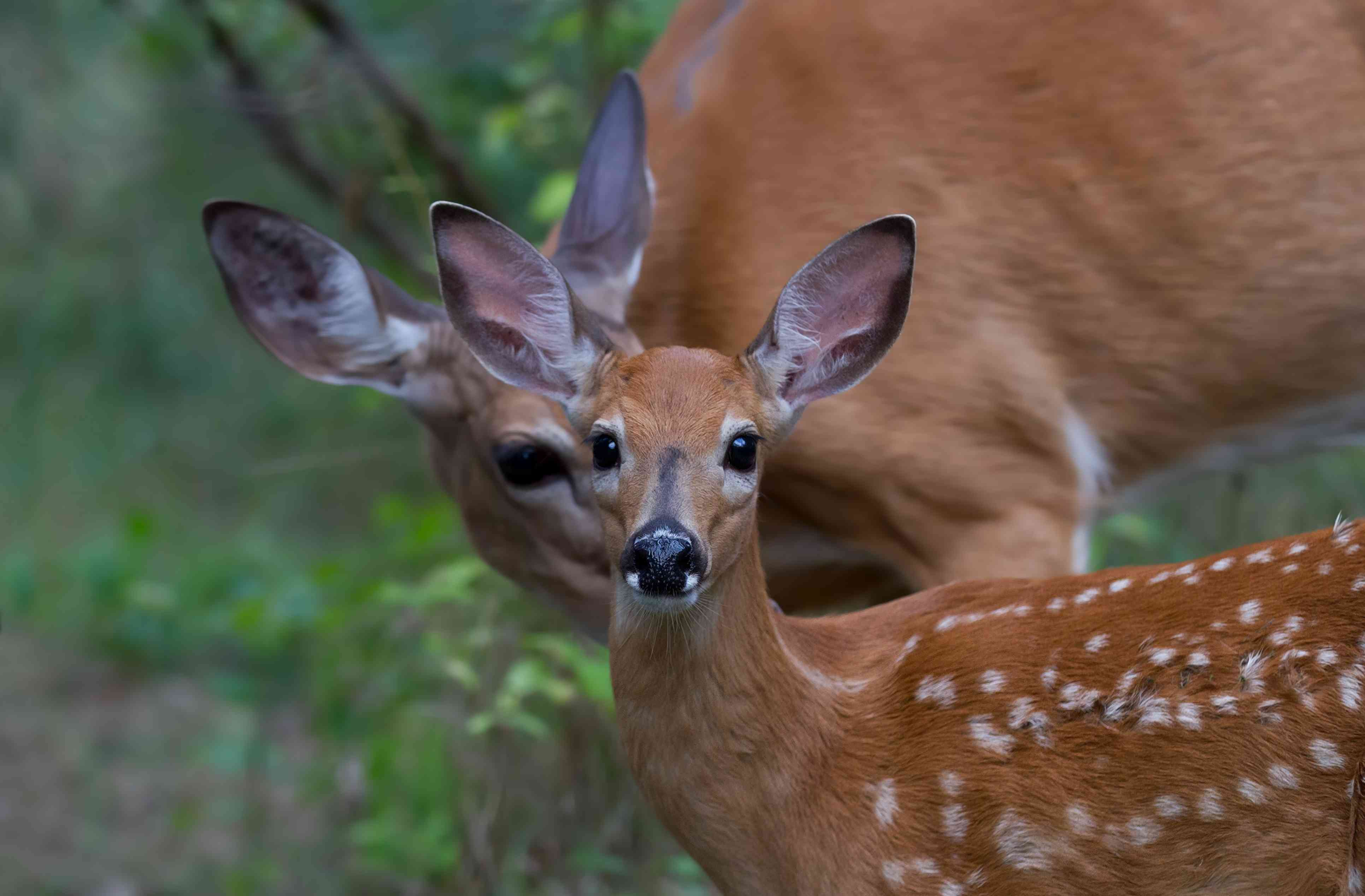 A white-tailed deer fawn and doe in Canada