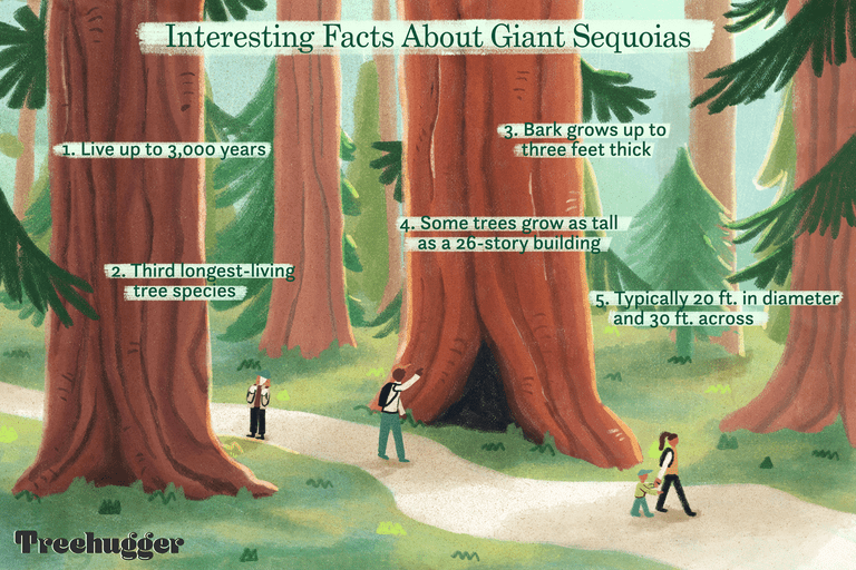 facts about giant sequoias