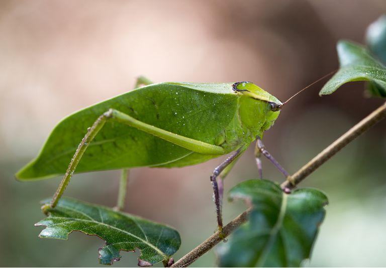 Green leaf-shaped katydid on a branch