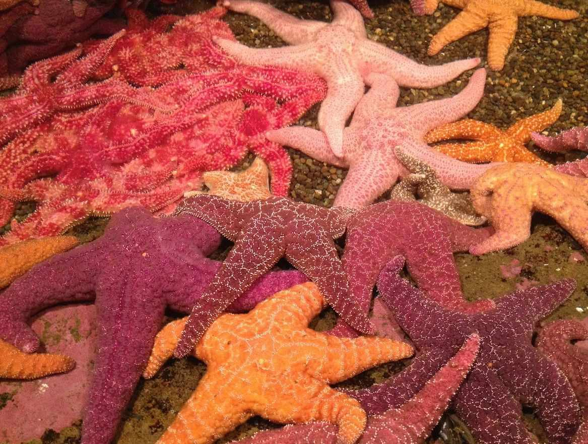 numerous sea stars colored from a light pink to maroon on the sea floor