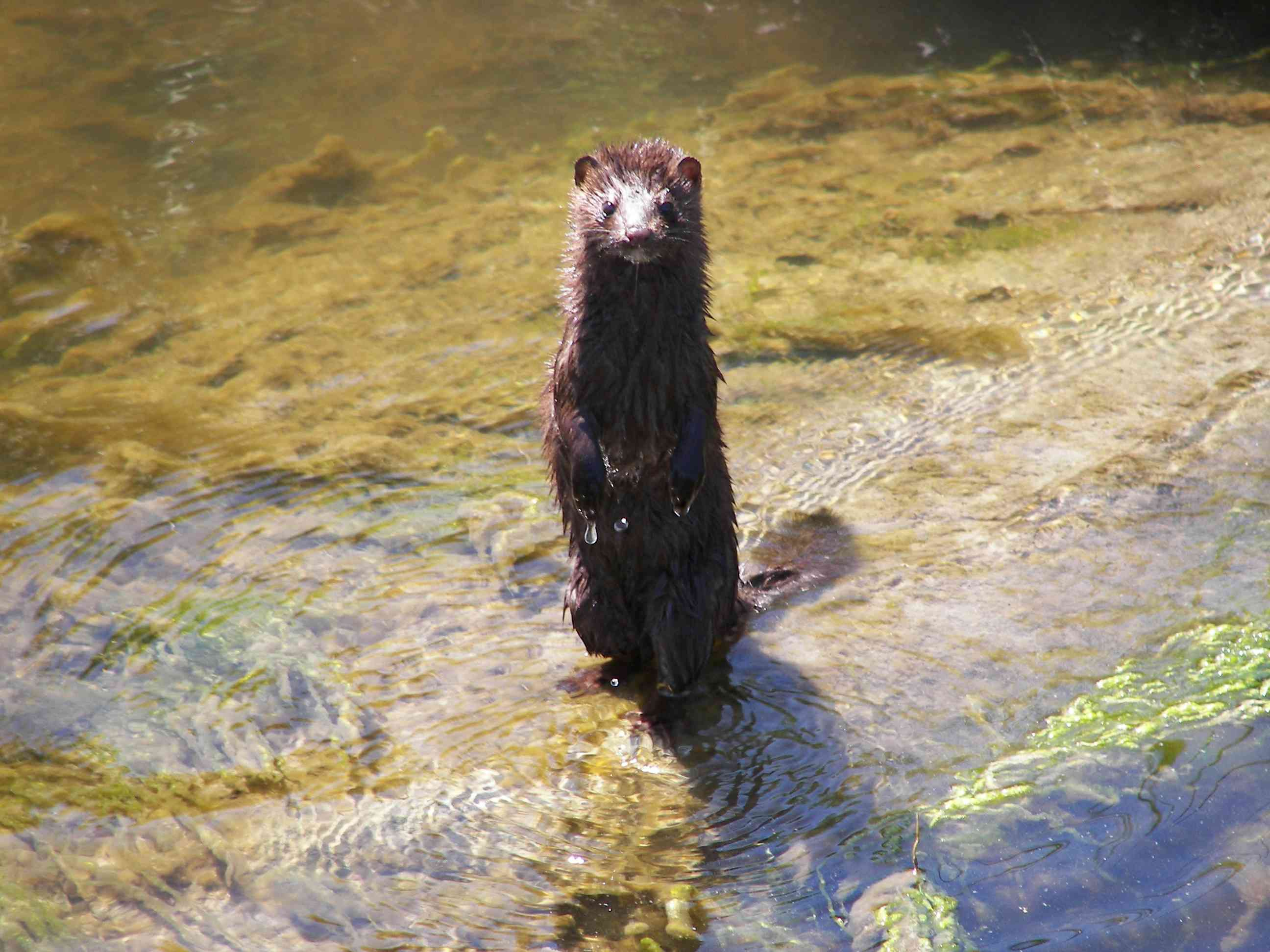 A mink stands up in a creek in the Rachel Carson Wildlife Refuge located in Maine.