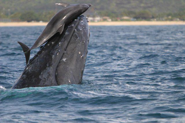¿Por qué los delfines se montan en ballenas?