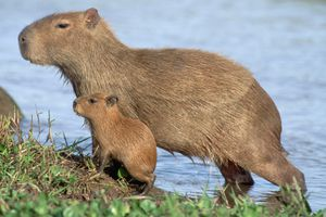 An adult and baby capybara standing side by side at the water's edge